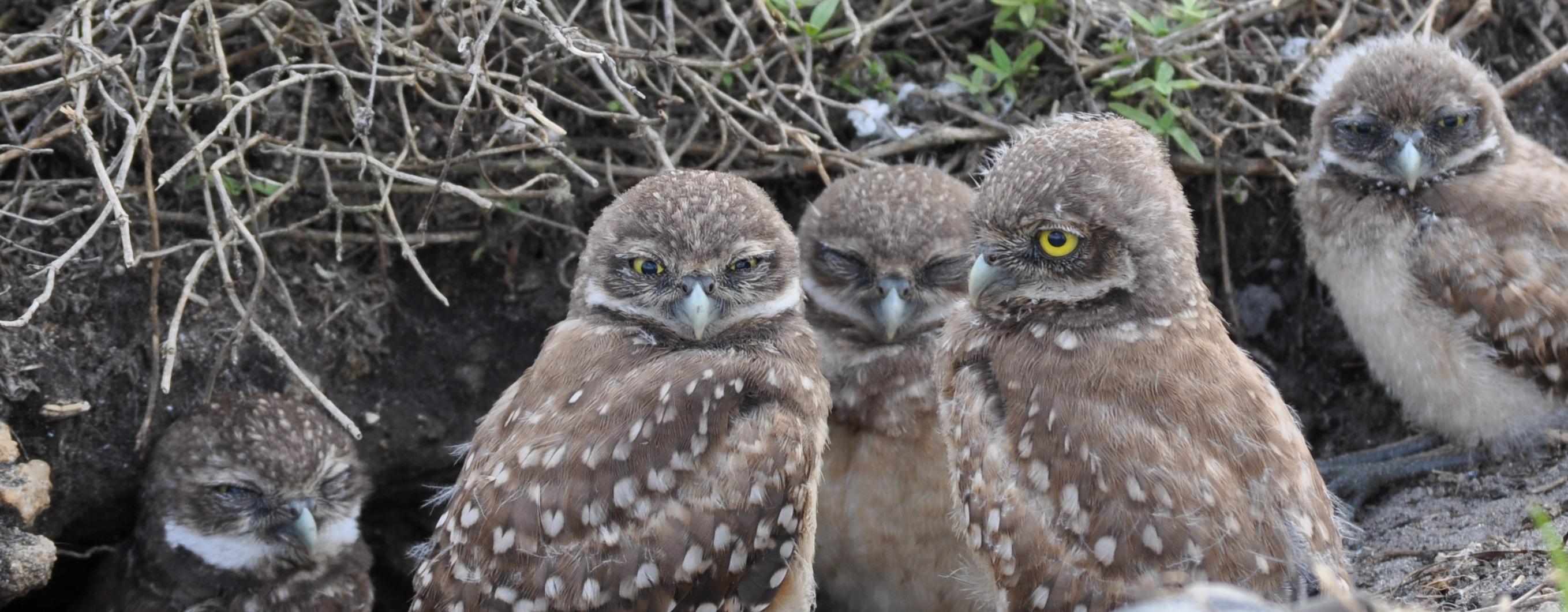 5 Juvenile Burrowing Owls