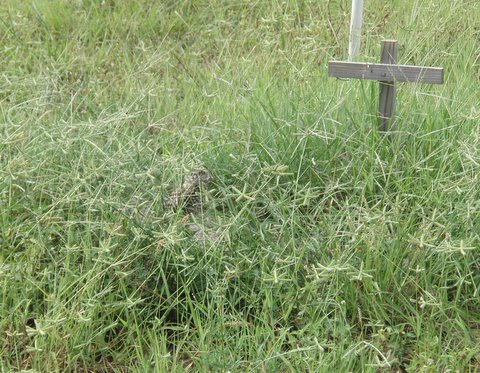 Burrowing owl at overgrown burrow