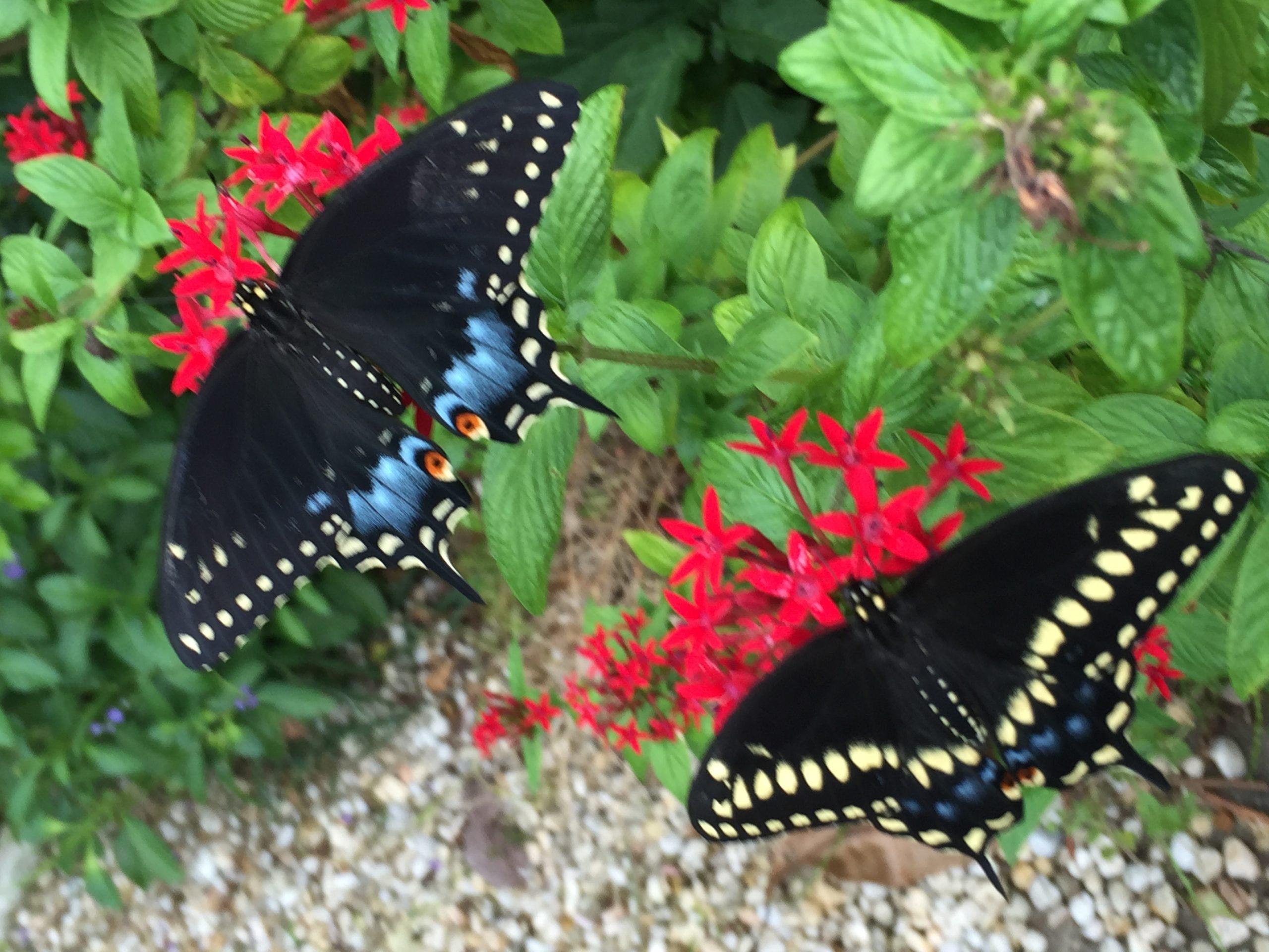 MF black swallowtail