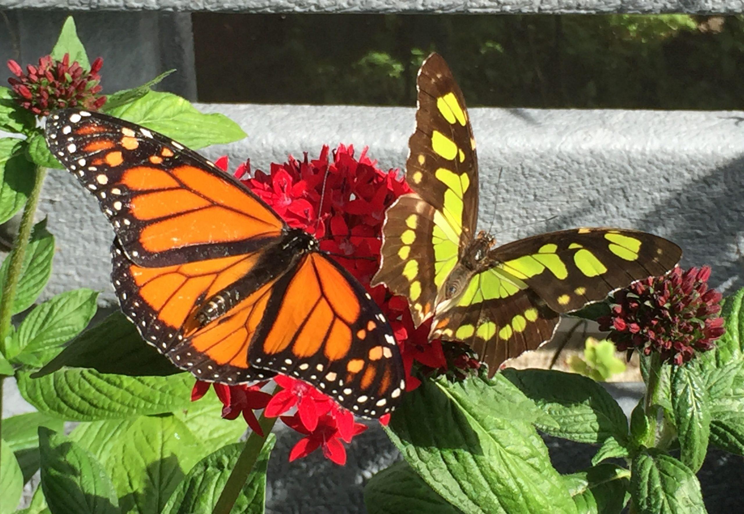 Malachite and monarch